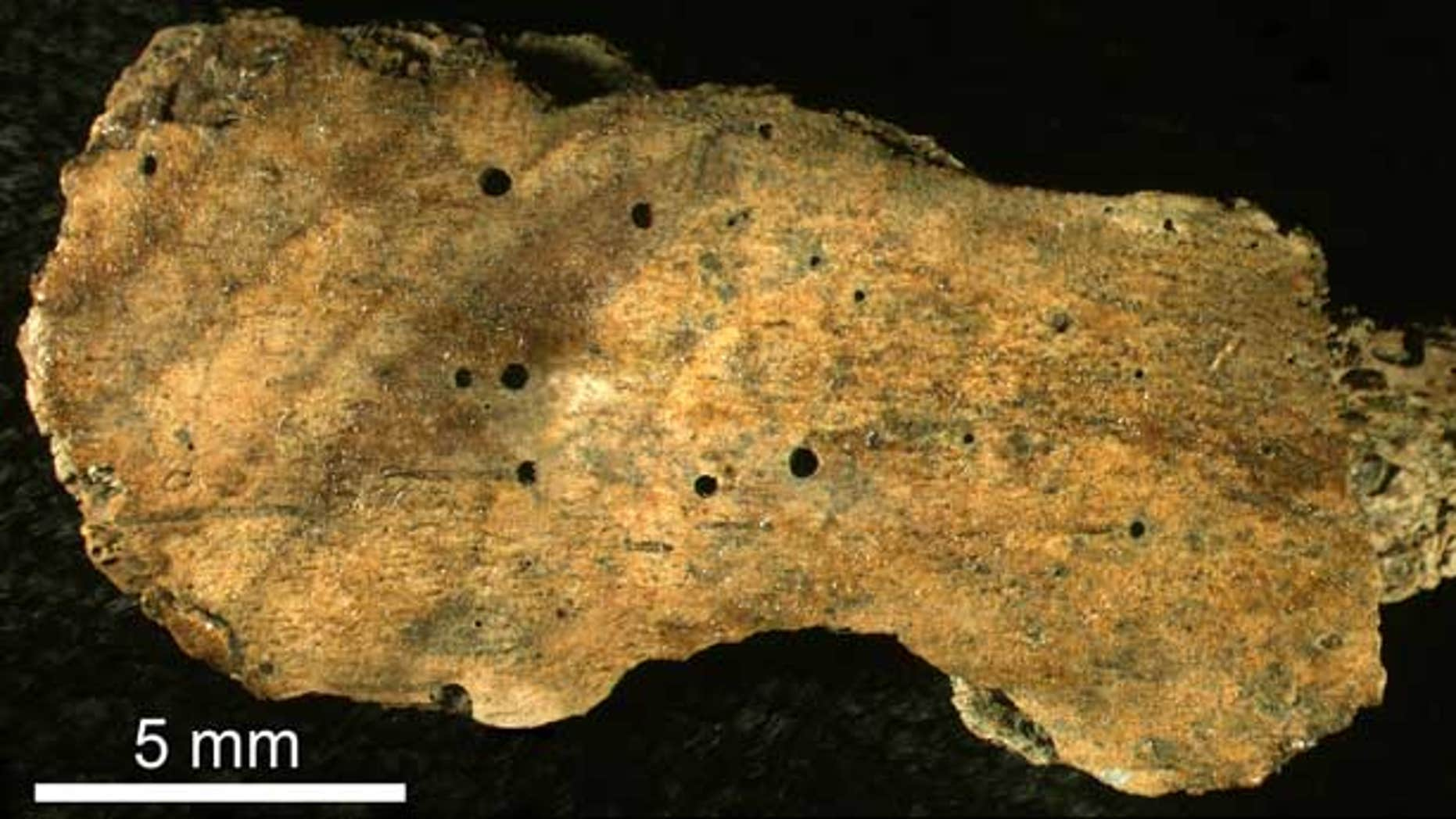 This 30-million-year-old rib fragment of a whale shows the circular boreholes made by a boneworm of the genus Osedax.