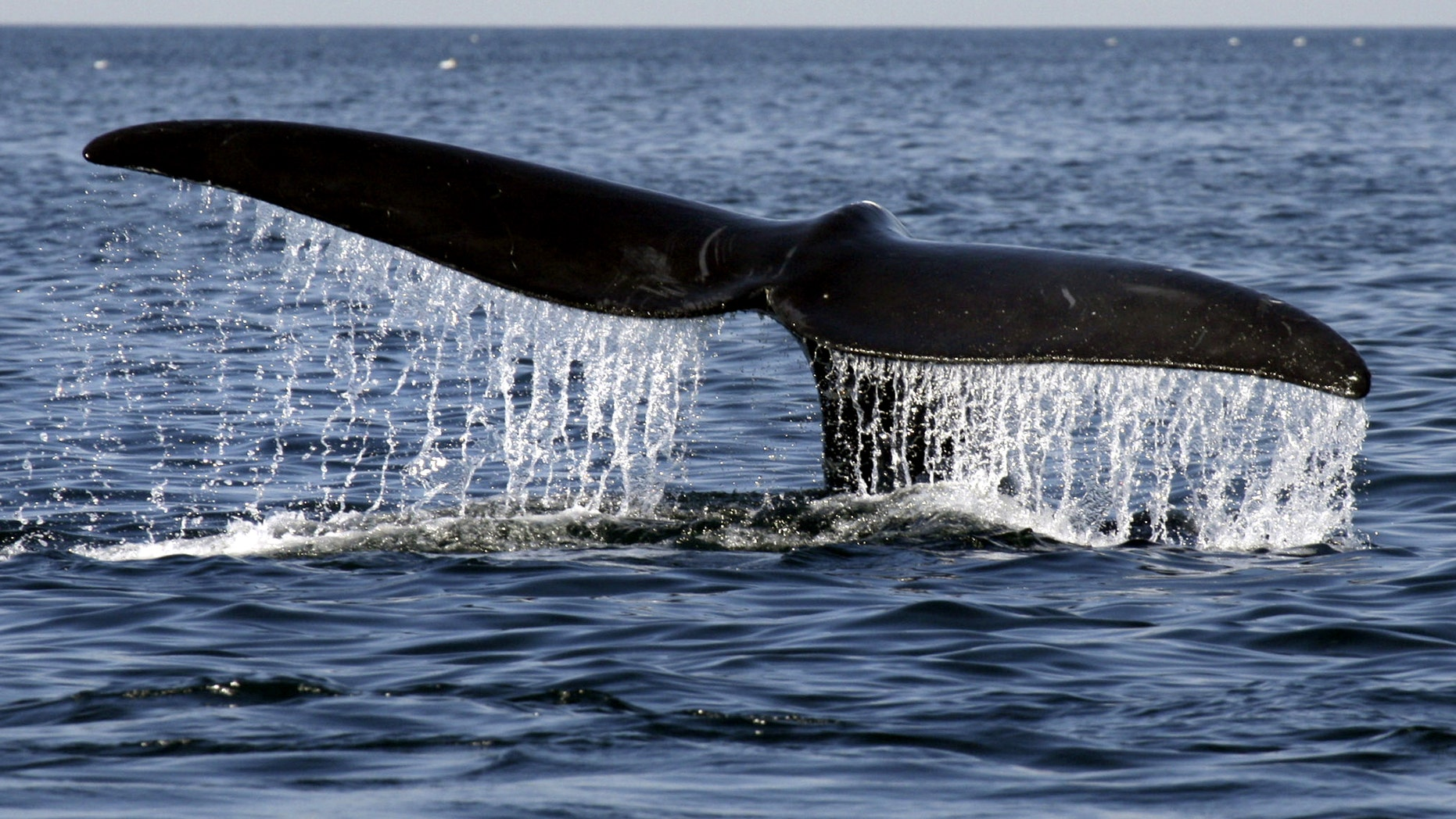 A North Atlantic right whale descends into Cape Cod Bay off the coast of Provincetown, Mass., Monday, April 12, 2010.