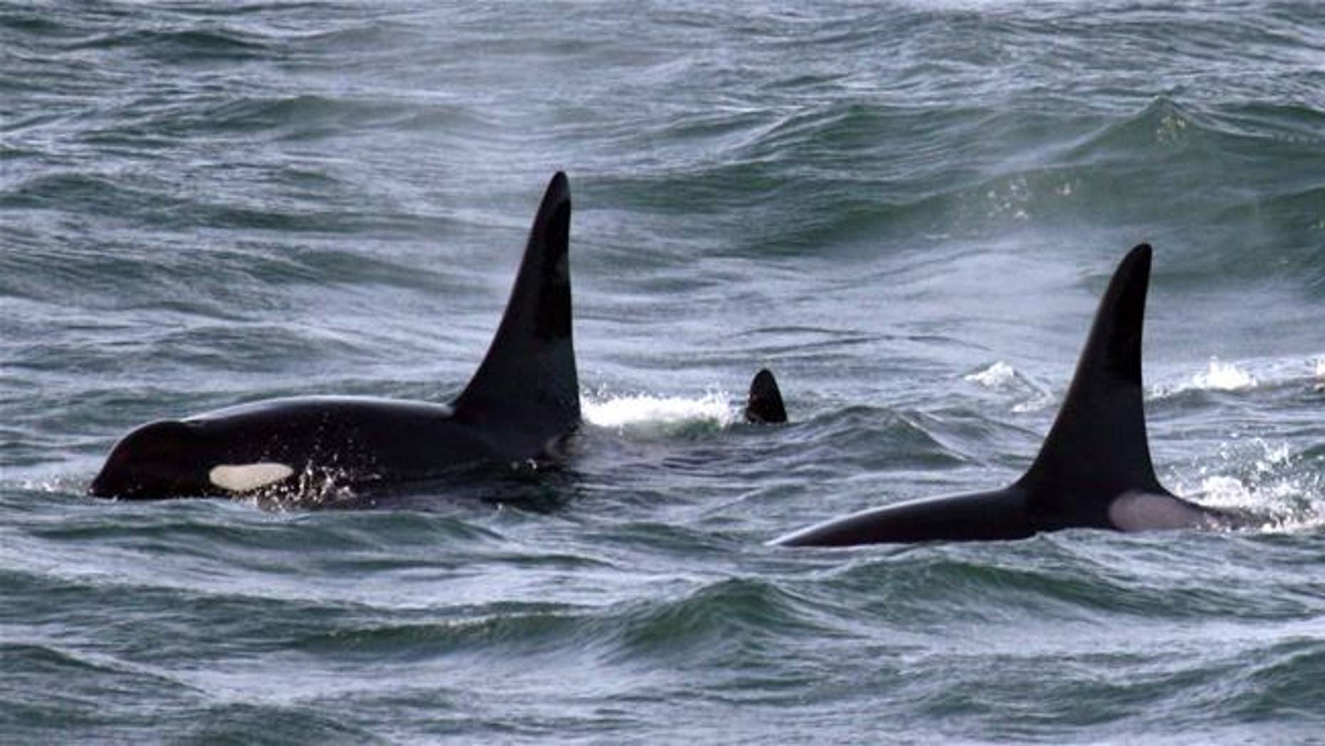 File photo of orcas off the coast of Washington. Neither is 'Granny,' but photos of her leaping from the water are at the Orca Network link in the summary.