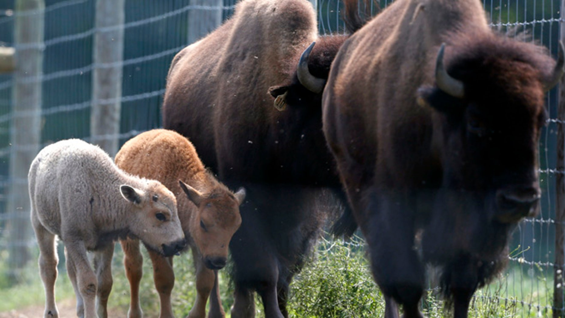 July 18, 2012: In this file photo, a white bison calf, left, walks in a field with its mother, right, and another calf at the Mohawk Bison farm in Goshen, Conn.