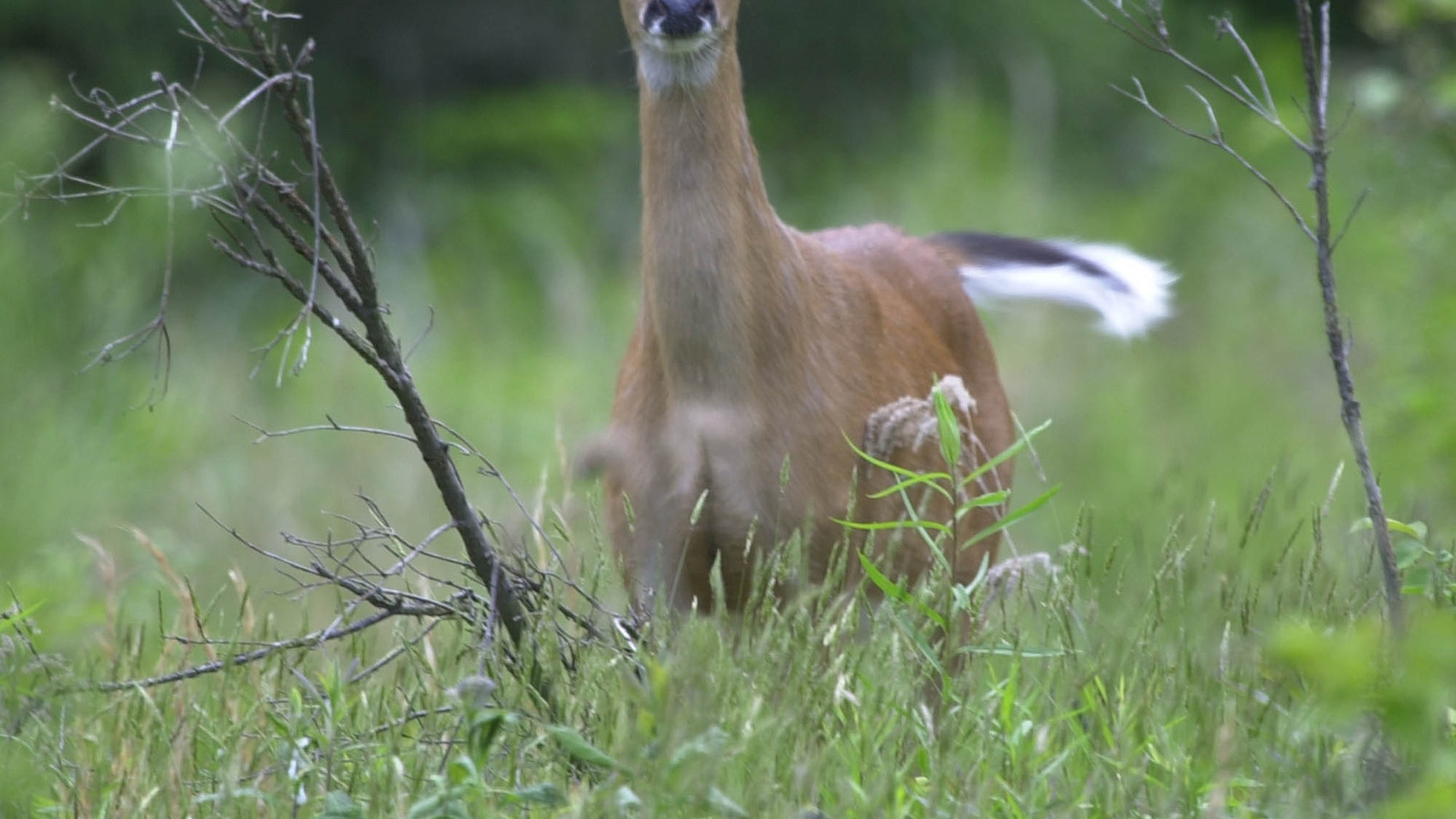 May 27, 2003: In a file photo, a White tailed deer flicks its tail as it stands alert while grazing in a field in Zelienople, Pa.