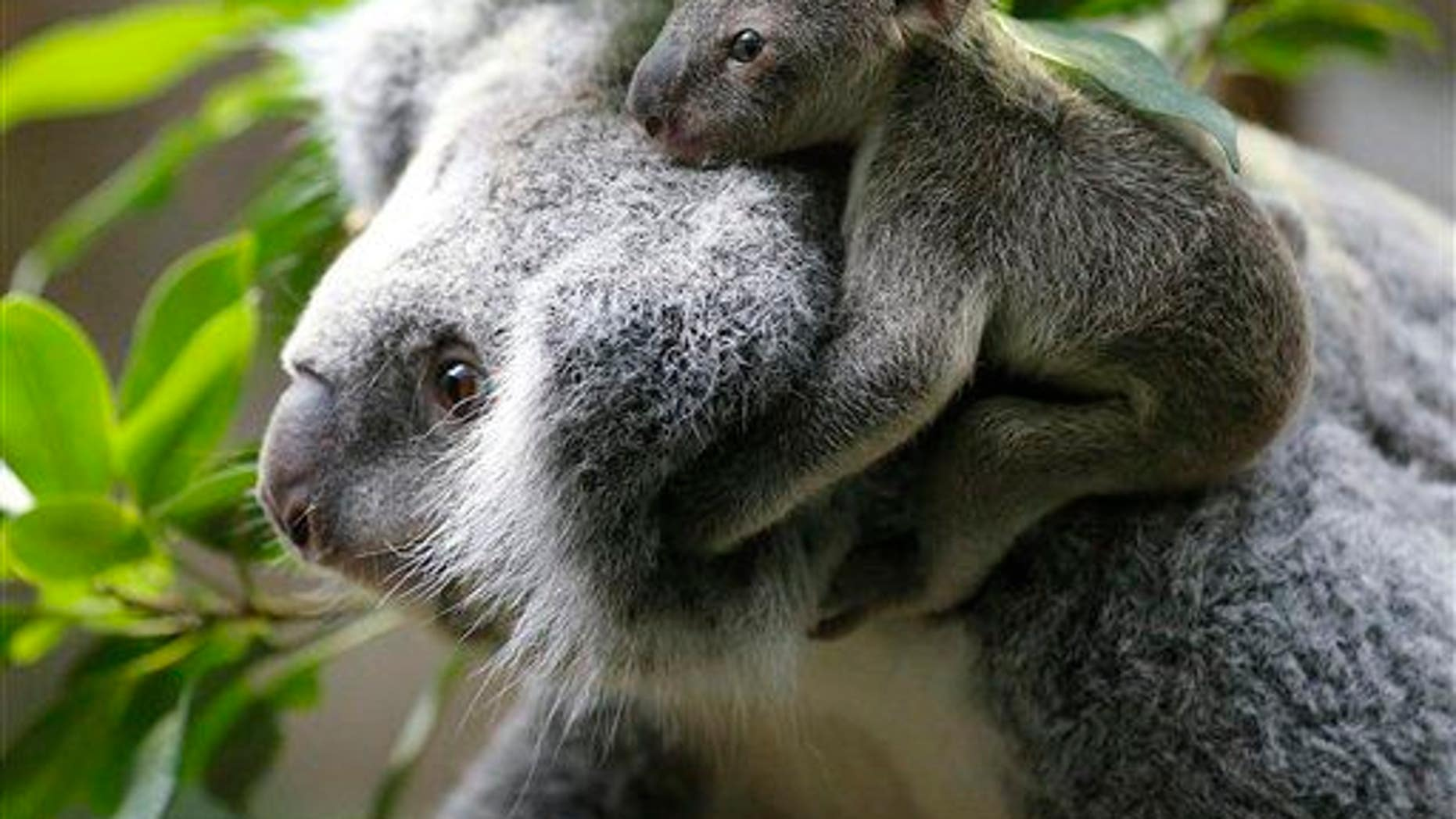 A koala joey sits on its mother's back at Duisburg Zoo in Germany, Jan. 22, 2014.