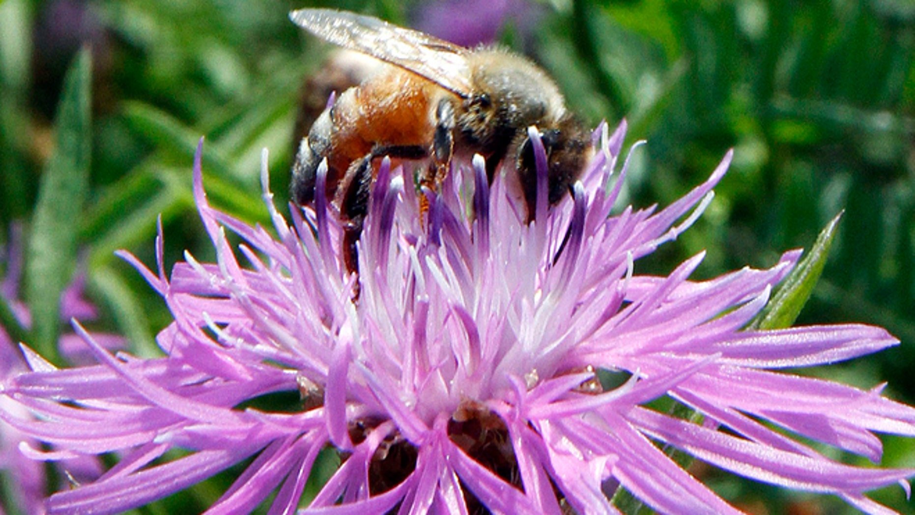 A bumblebee alights on the bloom of a thistle in Berlin, Vt. Increasingly sick domesticated honeybee populations are infecting the world's wild bumblebees, a new study in the journal Nature finds.