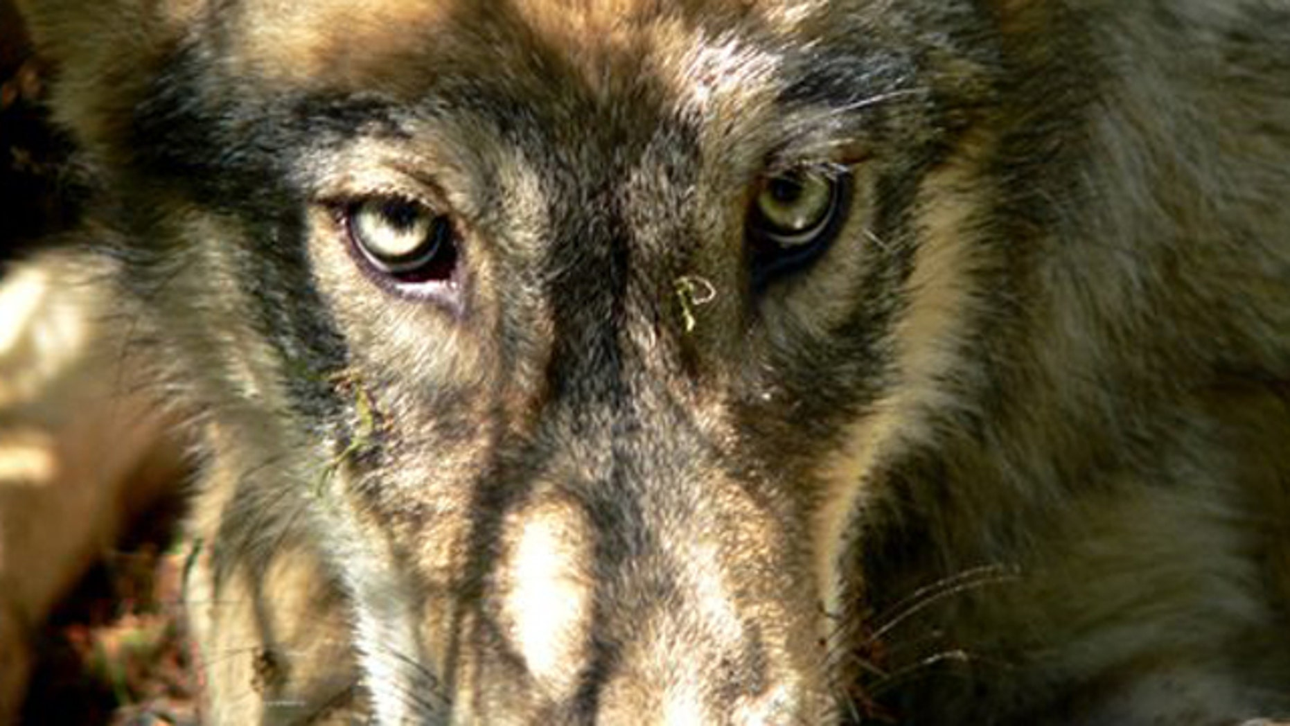 File- A gray wolf pup from the Calder Mountain pack along the Montana and Idaho borders west of Troy, Mont.