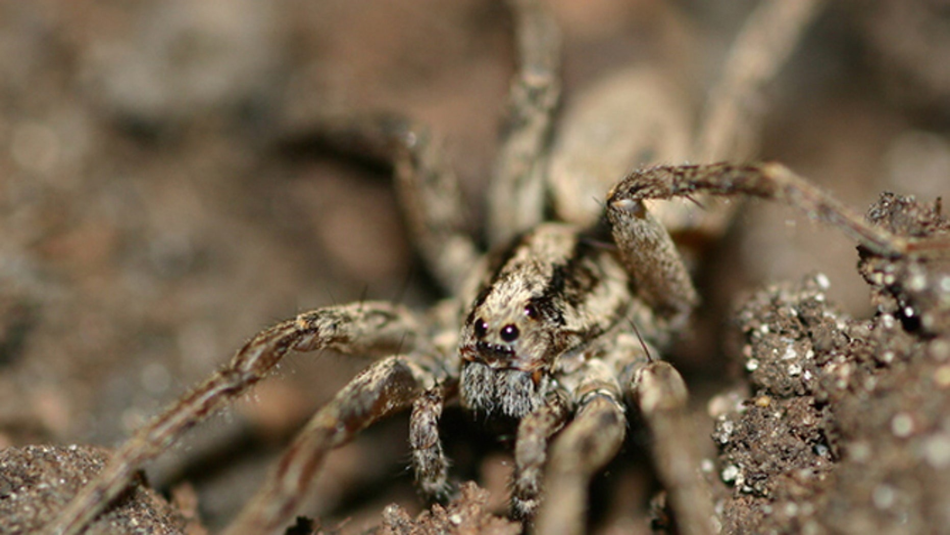 The male wolf spider (Gladicosa gulosa) appears to communicate with females through vibrations.