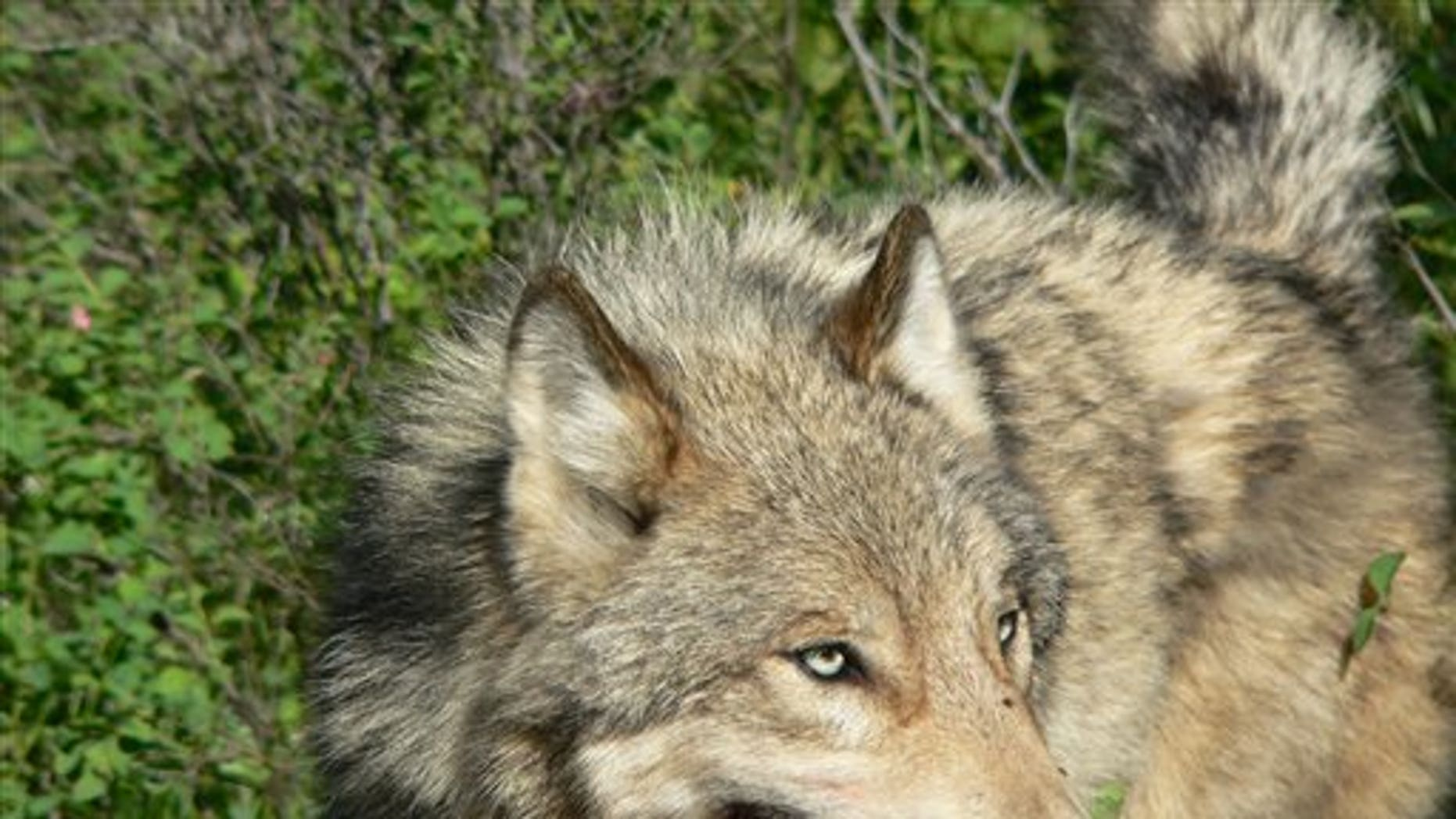 This 2004 photograph provided by Montana Fish, Wildlife and Parks shows an adult male wolf from the Lazy Creek pack north of Whitefish, Mont.  A proposed legal settlement over the status of gray wolves in the Northern Rockies could be trumped by Congress, as lawmakers say they are not going to wait for the settlement to be finalized before pushing ahead with their bills to strip wolves of federal protections. (AP/Montana Fish, Wildlife and Parks)