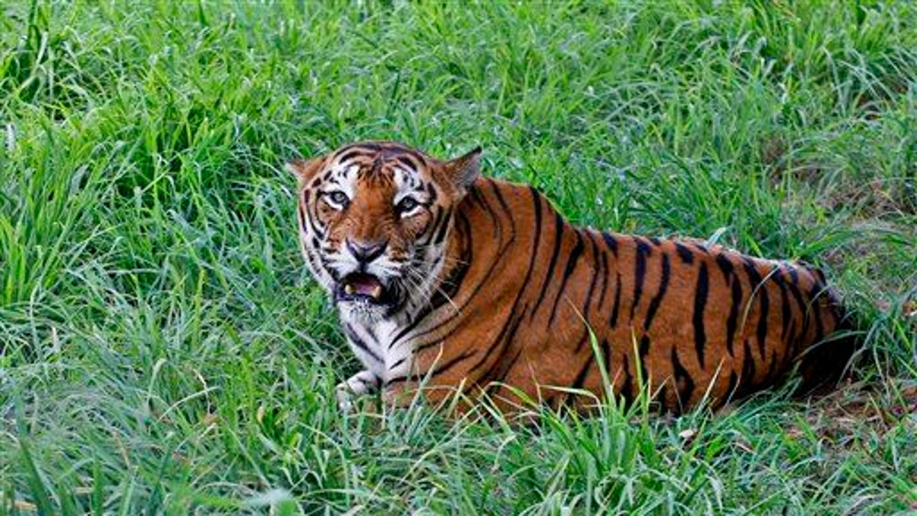 A Bengal tiger rests  in the jungles of Bannerghatta National Park, 16 miles south of Bangalore, India.