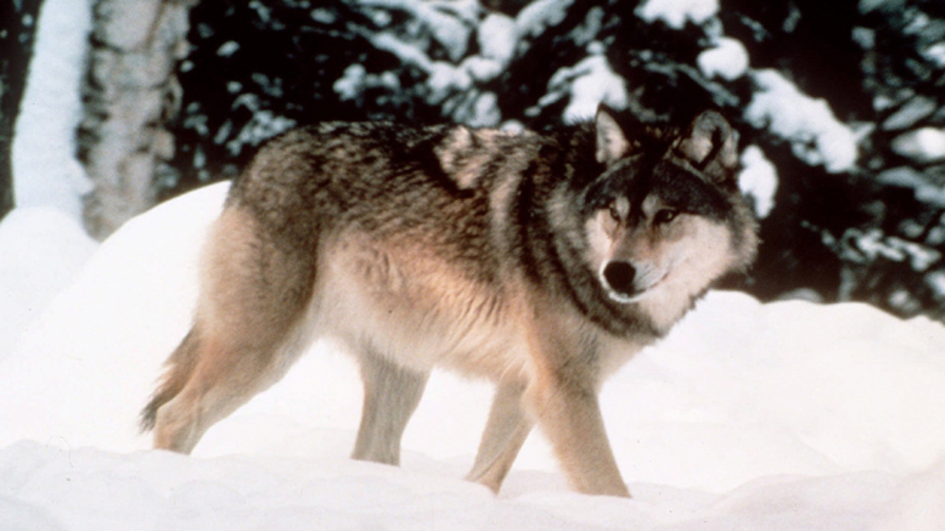 This image provided by Yellowstone National Park shows a wolf walking through the snow in Yellowstone National Park in Wyoming.