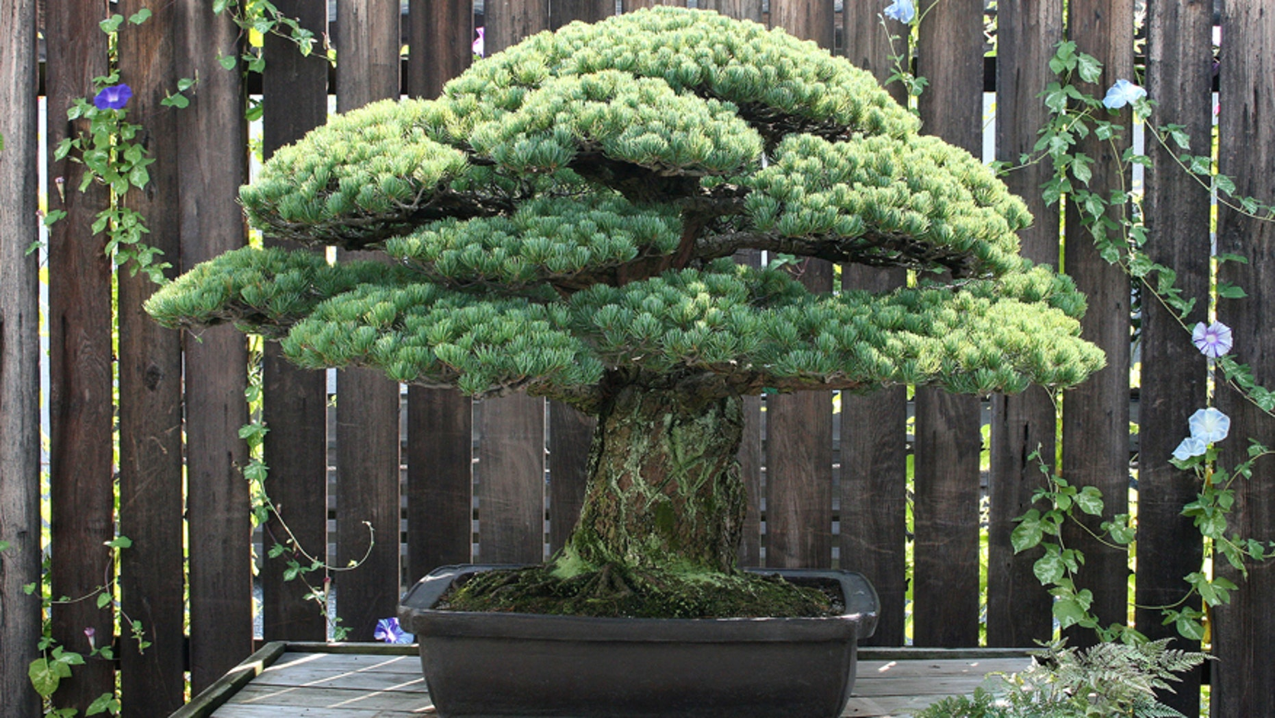 The 390-year old Japanese White Pine.