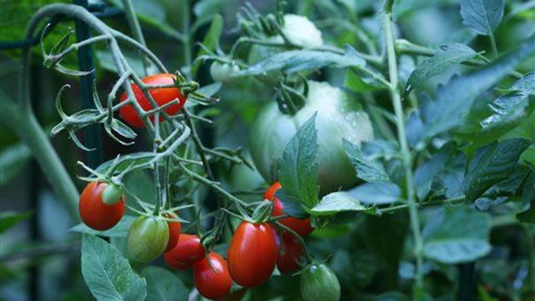 Cherry tomatoes are shown ... do potatoes lurk below?