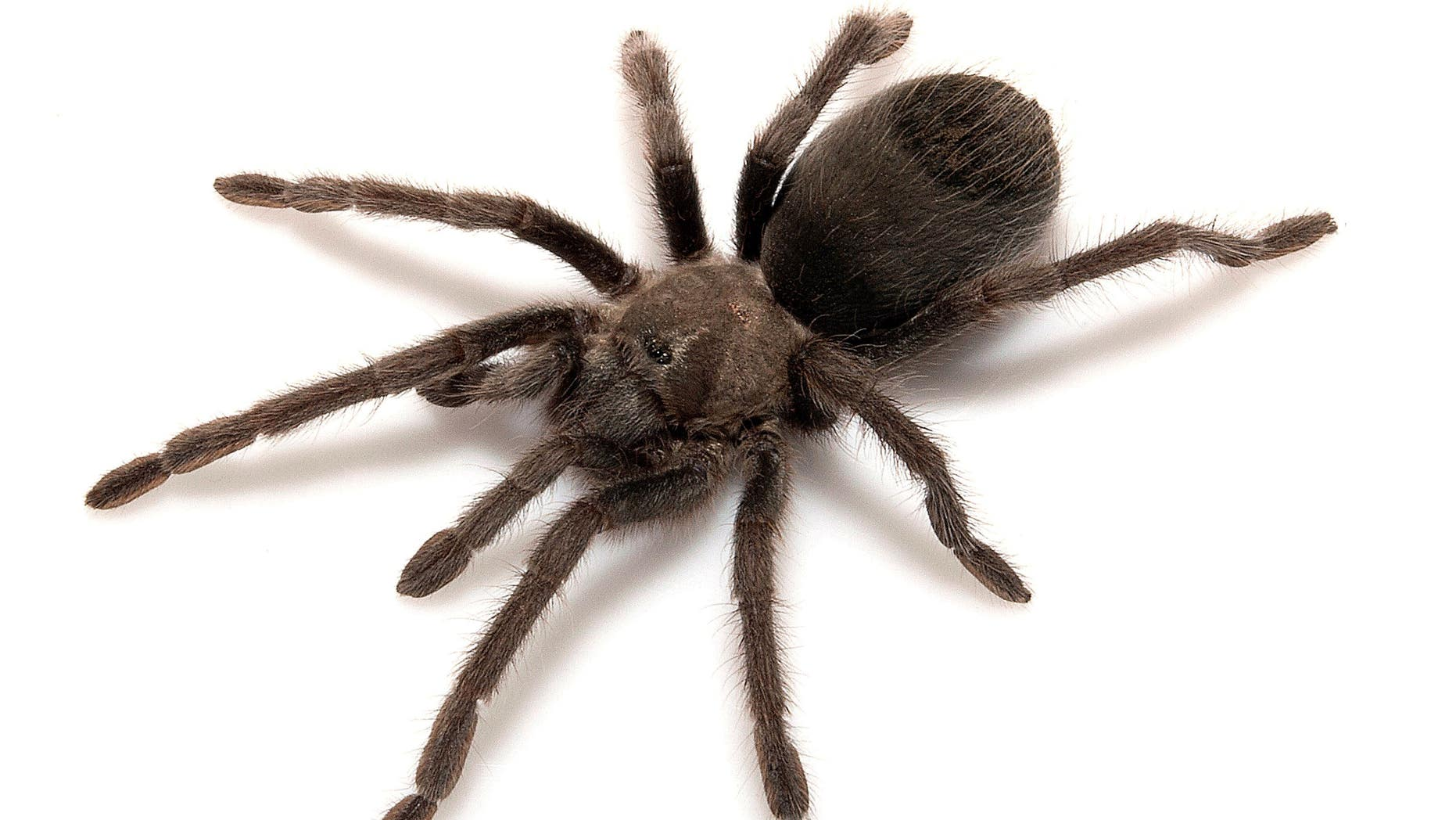 """This undated photo shows a new species of tarantula called Aphonopelma atomicum, which can be translated as """"atomic tarantula."""""""