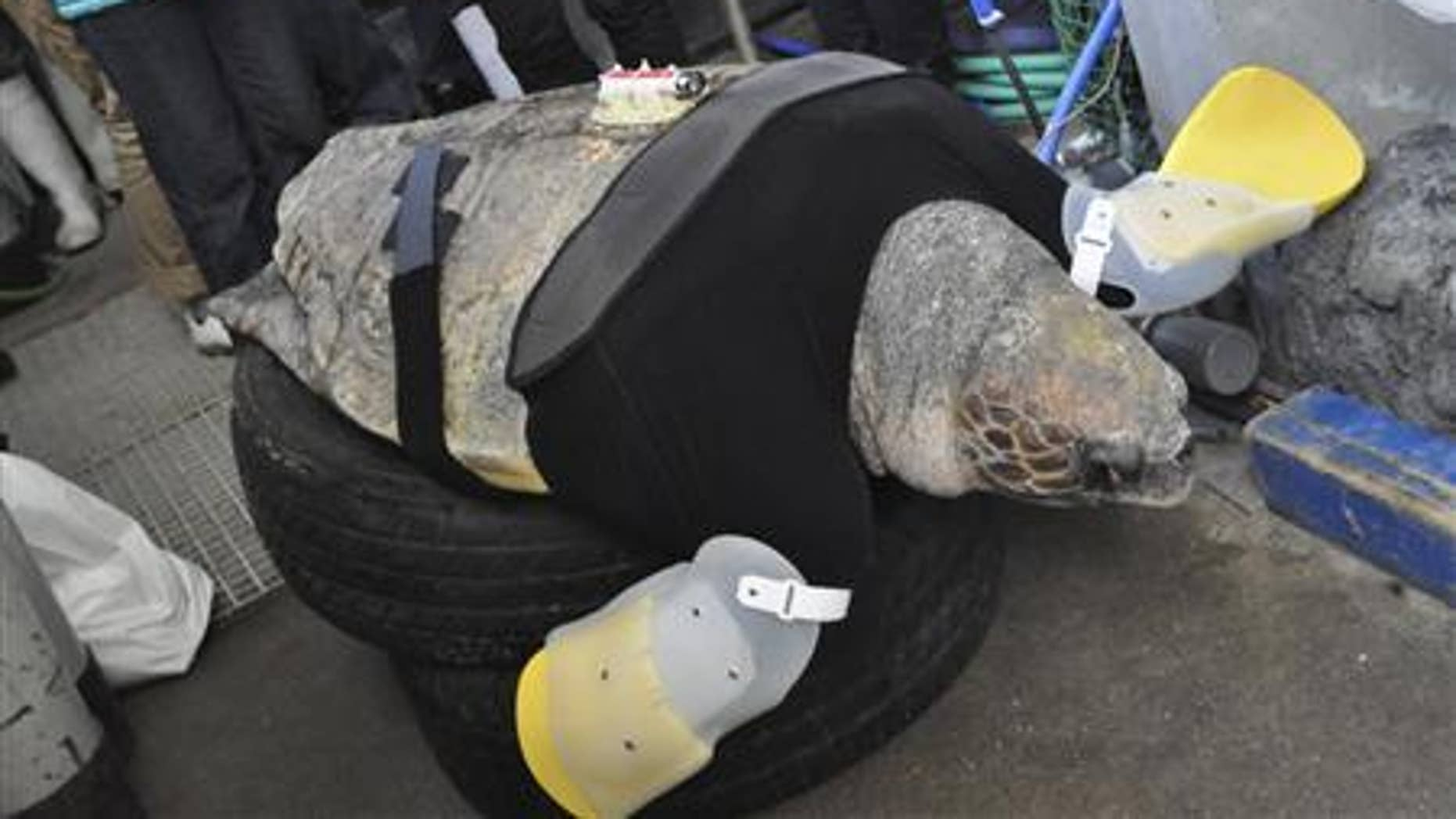 A 25-year-old female loggerhead turtle named Yu receives her 27th pair of prosthetic flippers at the Suma Aqualife Park in Kobe, western Japan February 11, 2013.