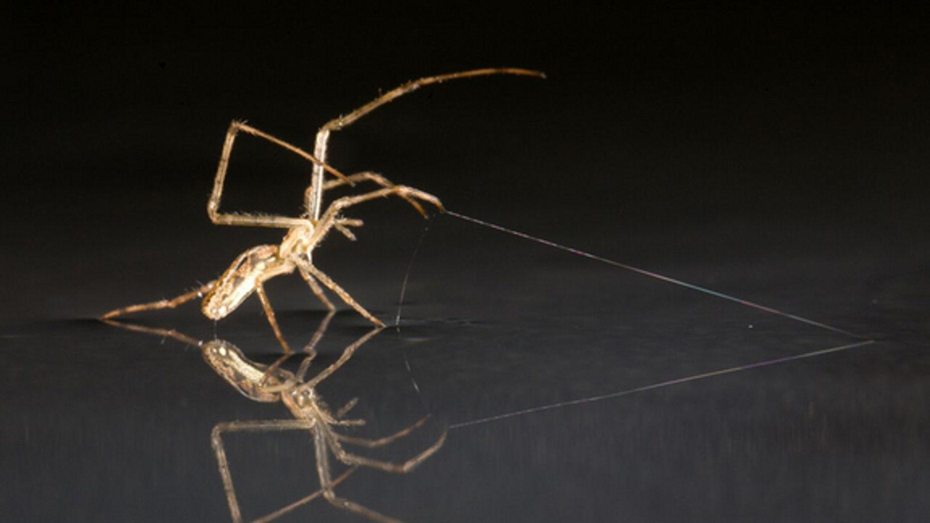 Tetragnathid spider using silk as anchor.