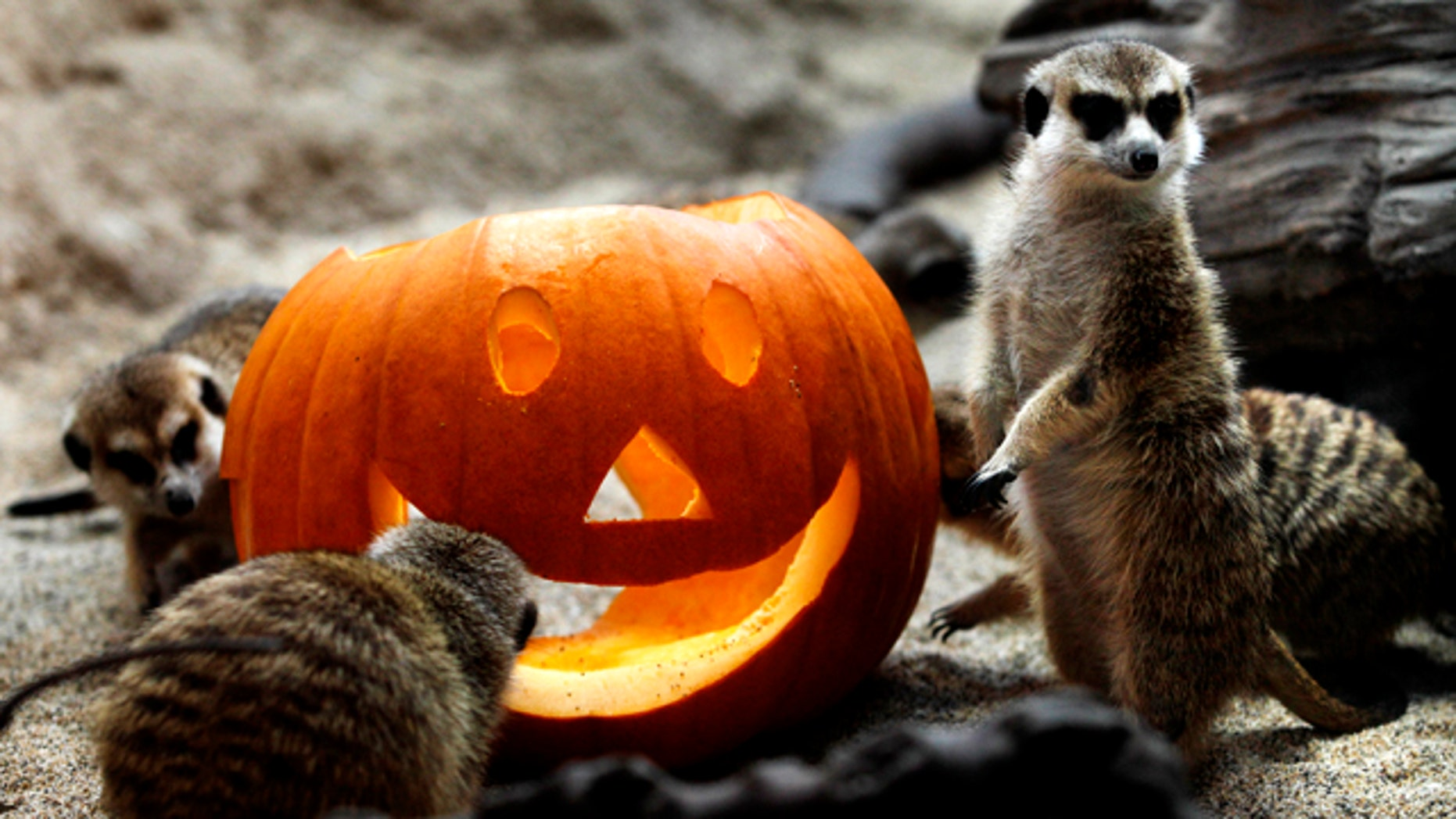 A group of meerkats explore a Halloween pumpkin, Thursday, Oct. 27, 2011, at the Woodland Park Zoo in Seattle.