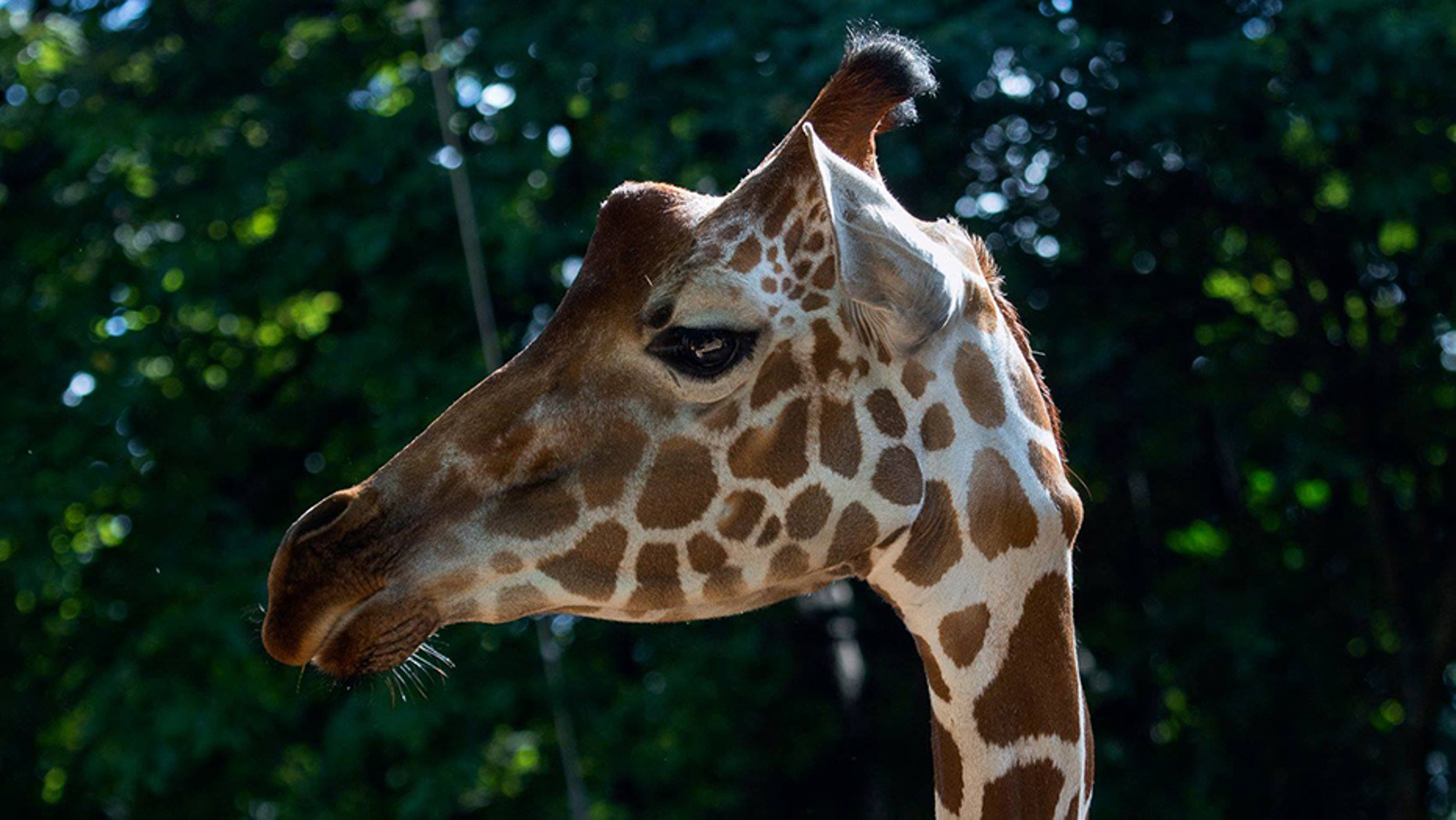 """A Zoo Atlanta giraffe """"died unexpectedly"""" this week, zoo officials have revealed."""