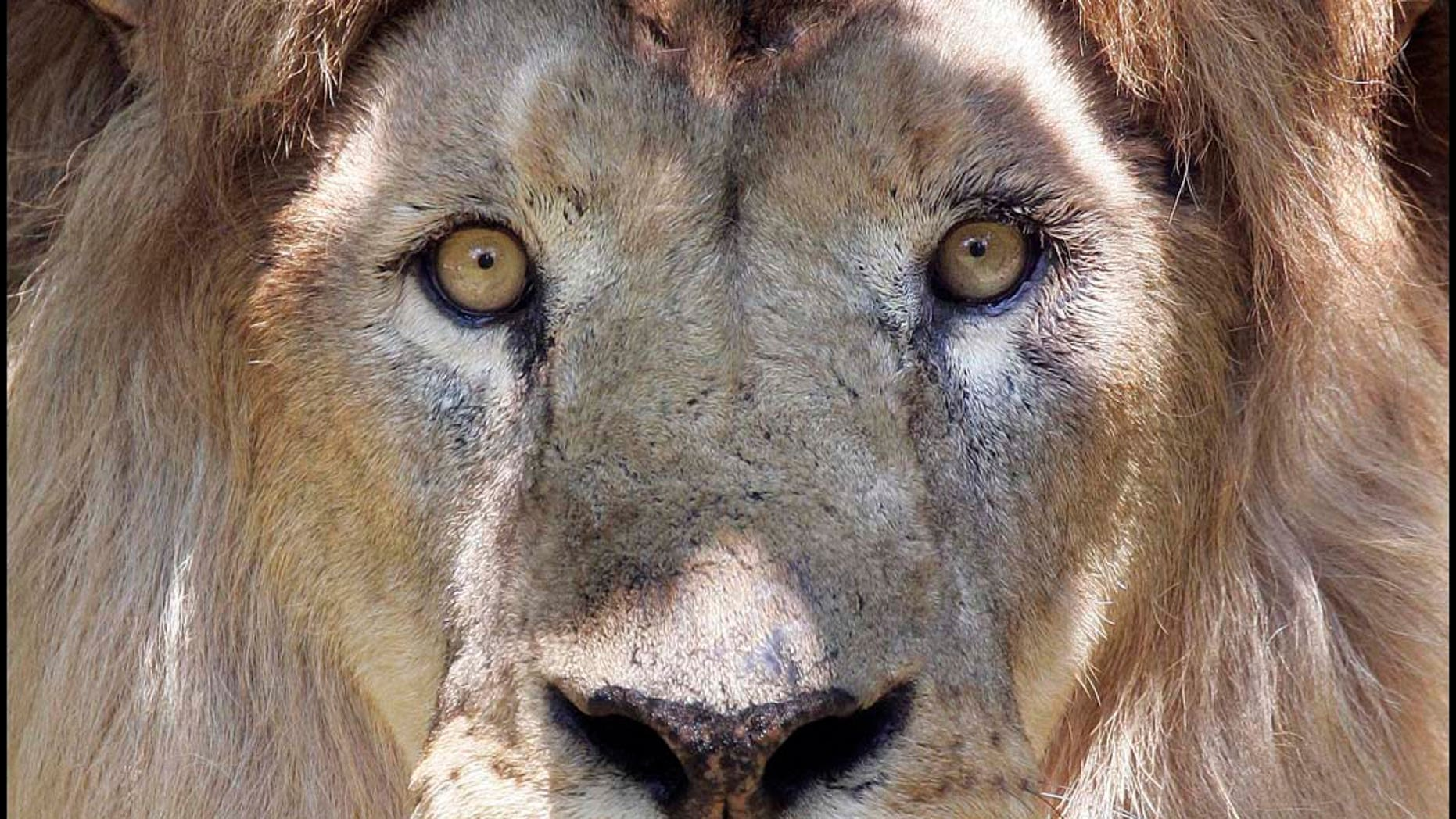 A 14-year-old lion named Christopher looks out from the shade of its enclosure at Franklin Park Zoo in Boston, Tuesday, June 26, 2007. Temperatures in the Boston area were expected to reach into the 90s on Tuesday. (AP Photo/Michael Dwyer)