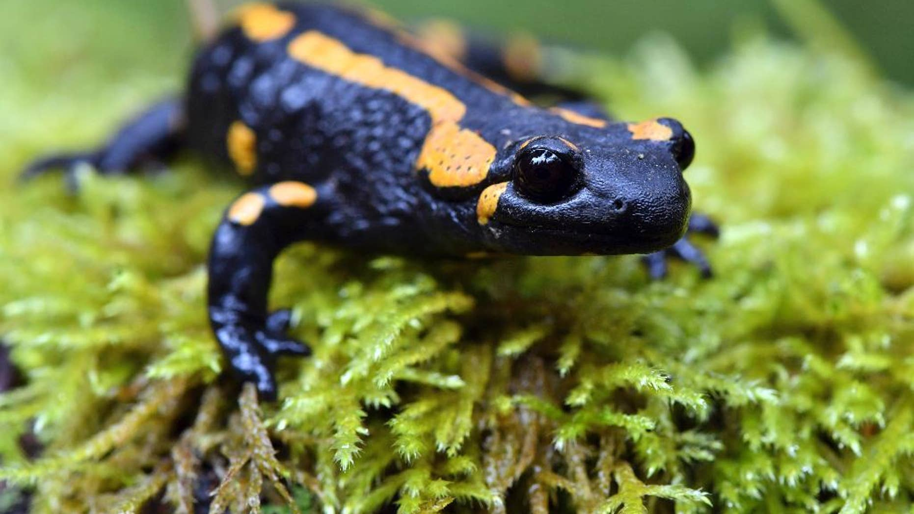 In this Oct. 18, 2016 file photo, a  fire salamander perches on a mossy surface near Oberhof, Germany. Europe's salamanders could be decimated by an alien invader that has already wreaked havoc in some part of the continent, scientists say. Researchers who examined the impact of a non-native fungus on fire salamanders in Belgium and the Netherlands found that it is lethal to the amphibians and almost impossible to eradicate. (Martin Schutt/dpa via AP,file)