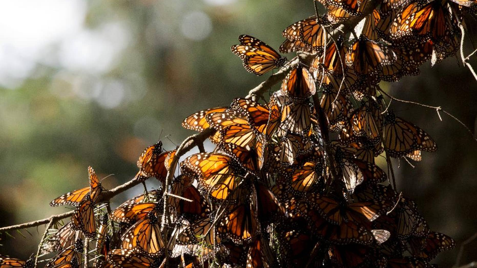 FILE - In this Jan. 4, 2015 file photo, a kaleidoscope of Monarch butterflies hang from a tree branch, in the Piedra Herrada sanctuary, near Valle de Bravo, Mexico. Illegal logging has almost tripled in the monarch butterfly's wintering grounds in central Mexico, reversing several years of steady improvements. Almost all of the loss occurred in San Felipe de los Alzati, in the state of Michoacan, over the past year, while little was lost in 31 other communities, according to a Tuesday, Aug. 25, 2015 announcement by the World Wildlife fund and the Institute of Biology of Mexico's National Autonomous University. (AP Photo/Rebecca Blackwell, File)