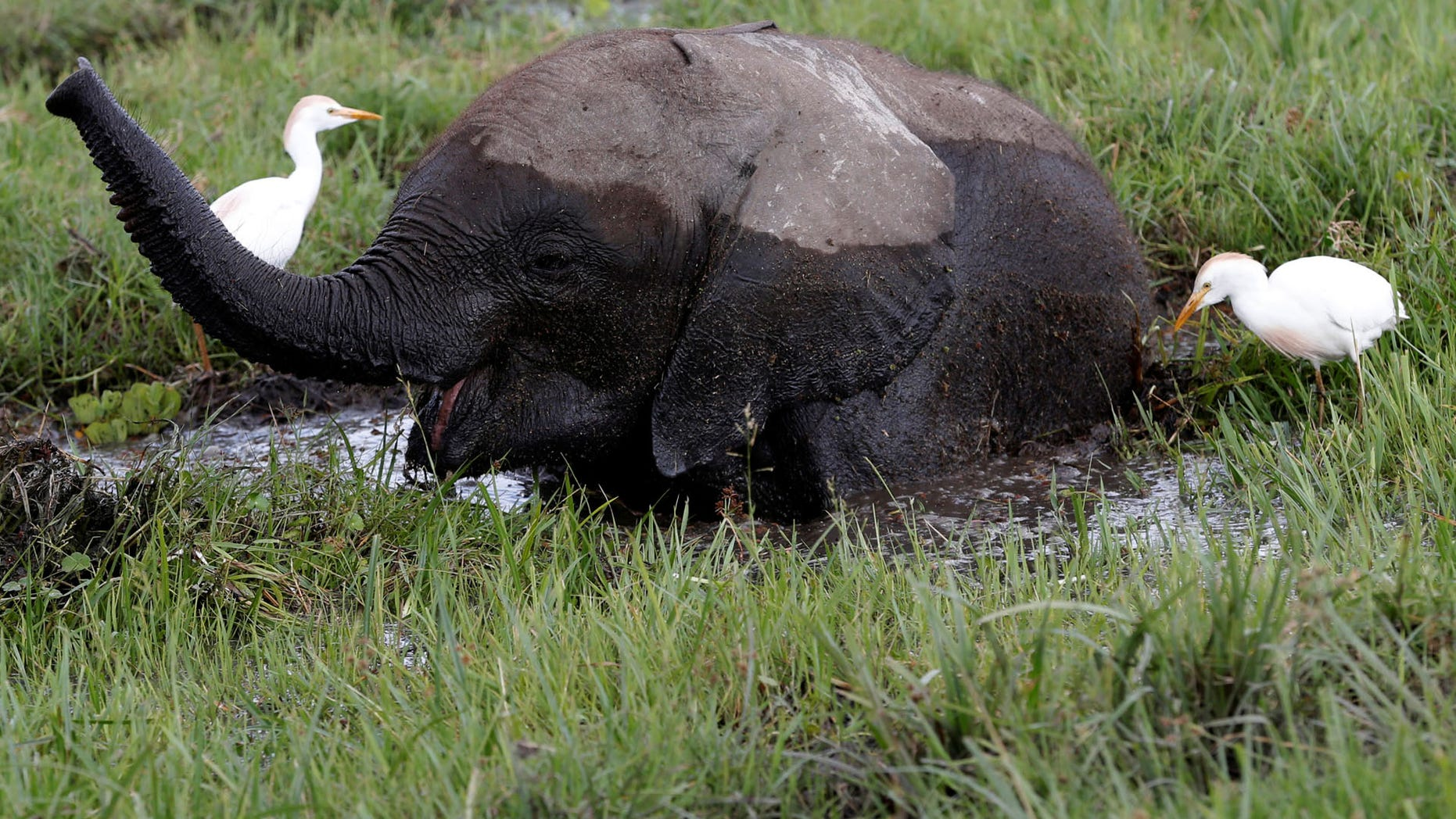 A baby elephant in a swamp.
