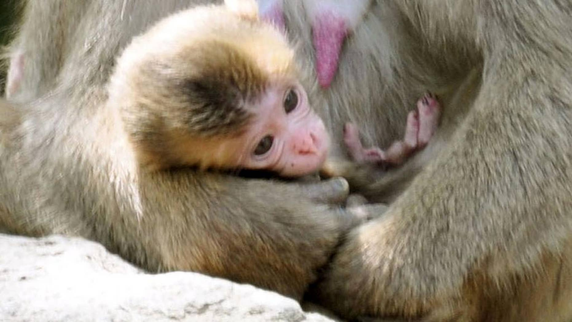 A newborn baby monkey named Charlotte clings to her mother at Takasakiyama Natural Zoological Garden in Oita, southern Japan Friday, May 8, 2015.  The monkey born in the Japanese zoo will keep its name Charlotte, after all.  Oita city officials settled a dayslong national debate over whether calling the monkey Charlotte offends its British royal namesake. The officials say they will stick to their first choice because there was no protest from Britain's royal family. (Kyodo News via AP) JAPAN OUT, CREDIT MANDATORY