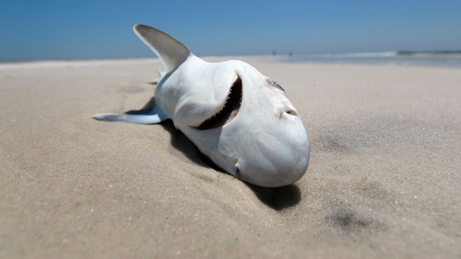 May 4: A dead shark is seen laying in the surf as concern continues that the massive oil spill in the Gulf of Mexico may harm animals in its path.