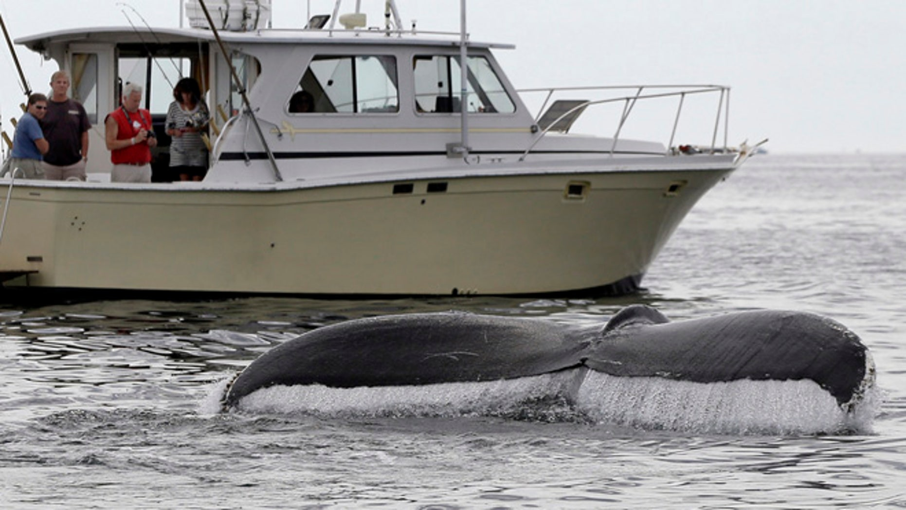 In this August 25, 2012 photo, boaters watch a humpback whale breach off the coast of Gloucester, Mass.