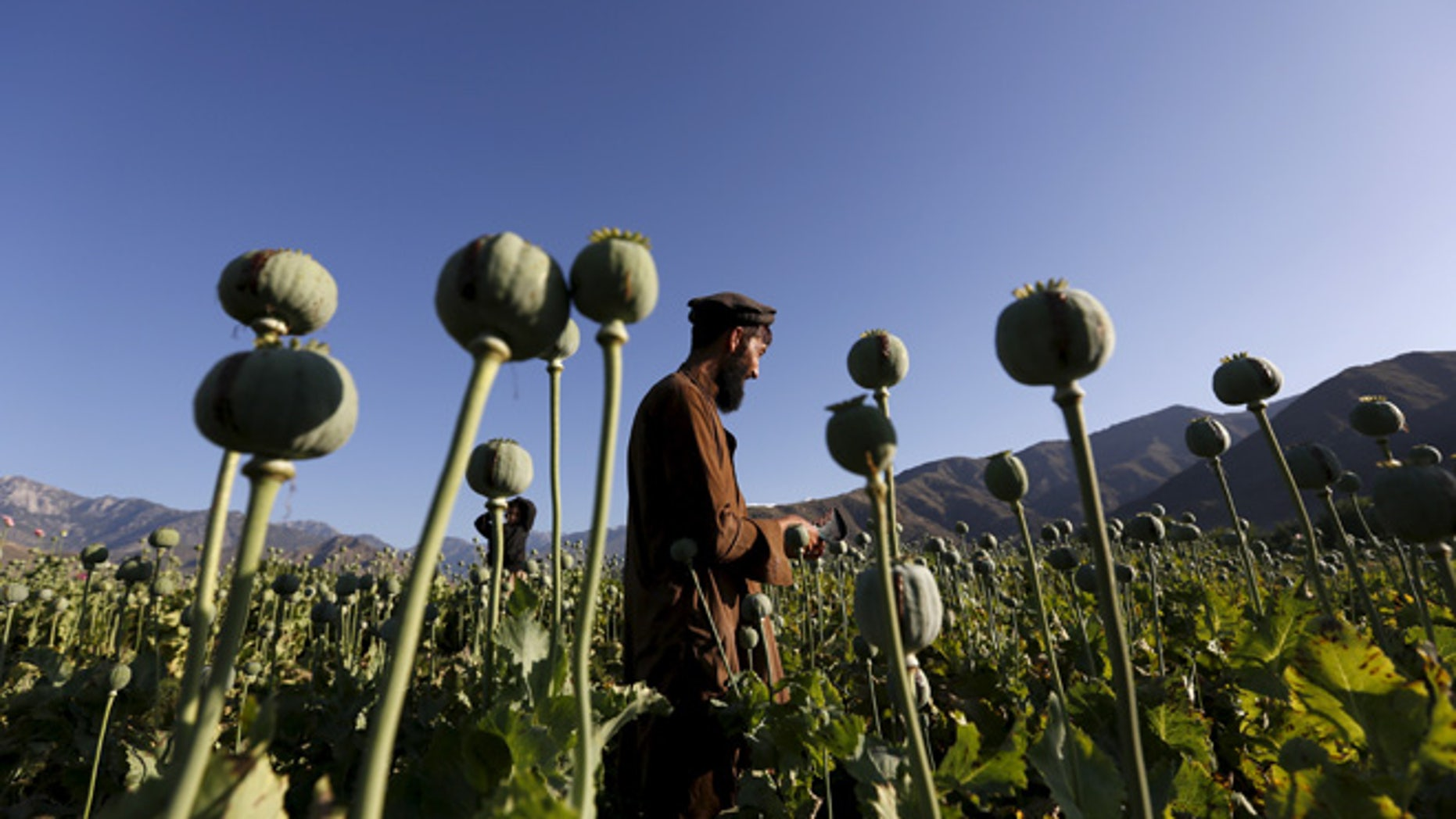 An Afghan man works on a poppy field in Nangarhar province, Afghanistan April 20, 2016.