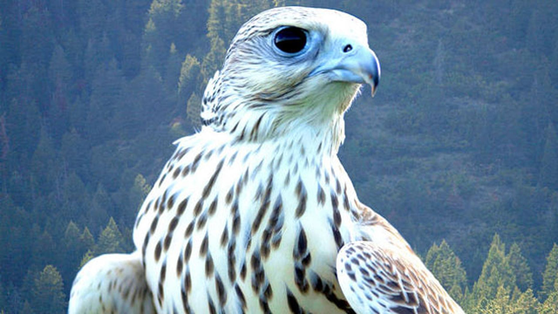 Falcons are mascots for the Air Force Academy's sports teams. One such bird was injured during a recent visit to the U.S. Military Academy at West Point, N.Y. (Associated Press)