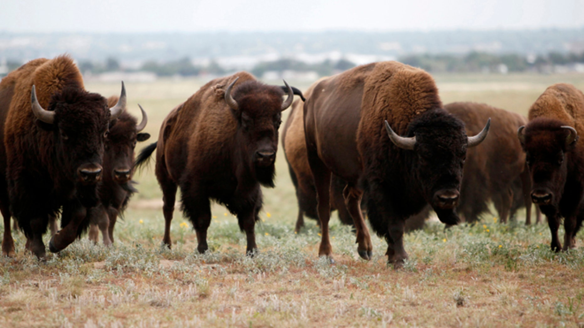 Wild bison climb a ridge at the Rocky Mountain Arsenal National Wildlife Refuge August 6, 2009.
