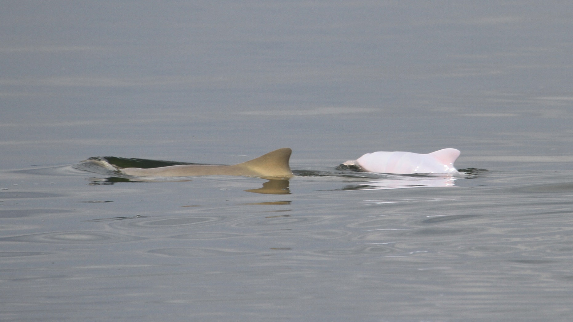 In this photo taken Nov. 7, 2011 and released by Projeto Toninhas/Univille, an albino dolphin, right, and an adult dolphin swim at the Baia da Babitonga, in Santa Catarina state, Brazil. Biologists studying an endangered dolphin species that lives only on the southern coast of South America say they've found the first recorded instance of an albino baby among them. (AP Photo/Projeto Toninhas/Univille)