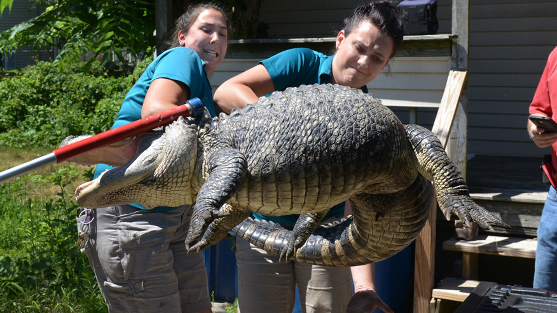 Aug. 4, 2016: West Springfield- Representatives from the Zoo at Forest Park in Springfield, Mass., handle a 6-foot long 150 pound alligator found in the backyard in West Springfield, Mass.