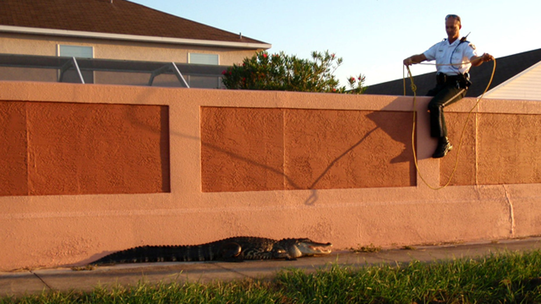 Pinellas County Sheriff's Office deputies captured a seven and a half foot alligator as it walked toward a school crossing at Forest Lakes Elementary School in Oldsmar, Florida.