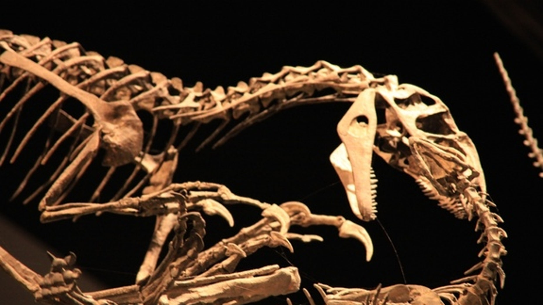 Researchers bombarded a toe bone from a giant carnivorous dinosaur, Allosaurus fragilis (shown here), finding that the beast apparently had an amazing power to heal its broken bones.