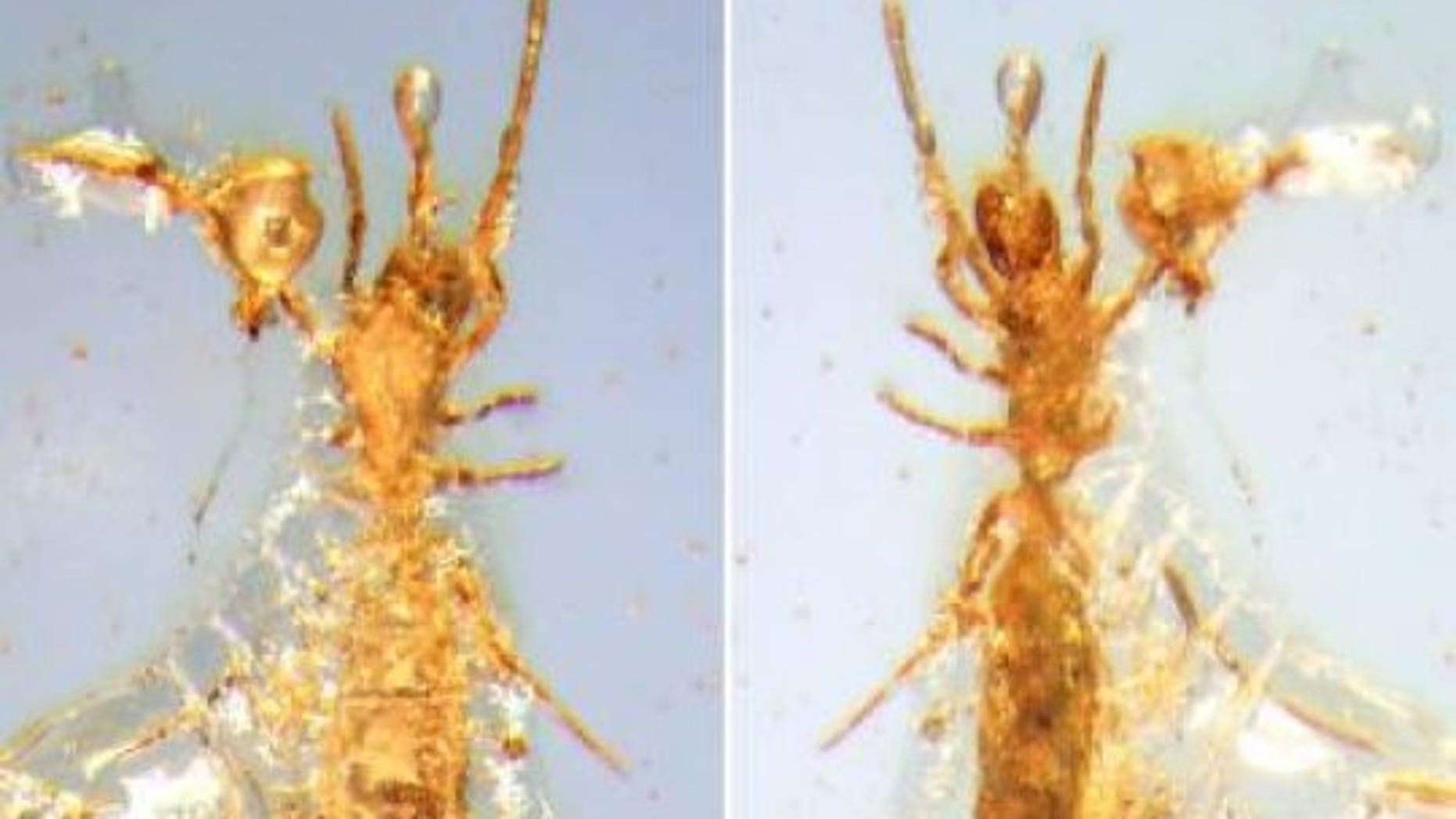 This is a photograph of Electrokoenenia yaksha. (Michael S. Engel)