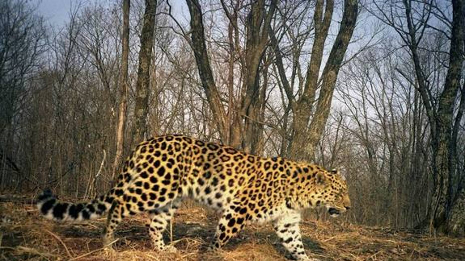 An Amur leopard is caught on camera at Land of the Leopard National Park in Russia.
