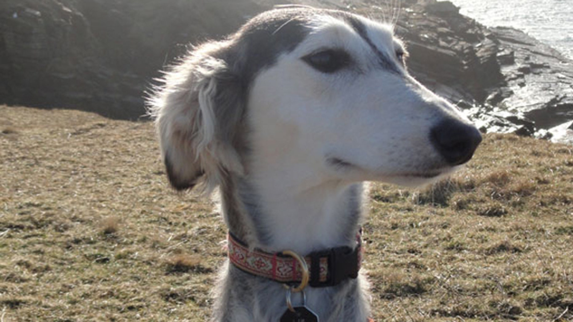 Salukis appear genetically different from other modern dogs because they were geographically isolated and were not part of the 19th century Victorian-initiated Kennel Clubs that blended lineages to create most of the breeds we keep as pets today.