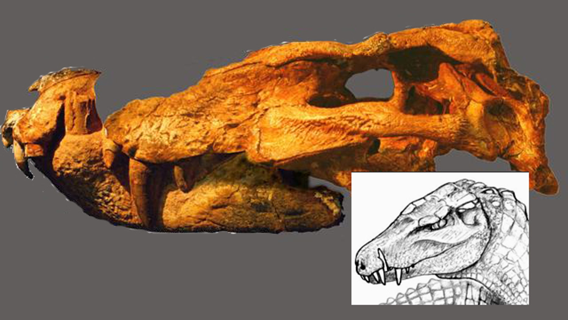 The fossil skull of the crocodilian's head might have looked like the inset drawing in real life -- many millions of years ago.