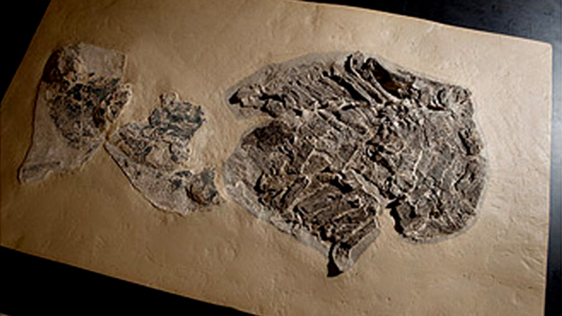 A Gladbachus shark fossil used in the research, pictured in the scientists' lab.