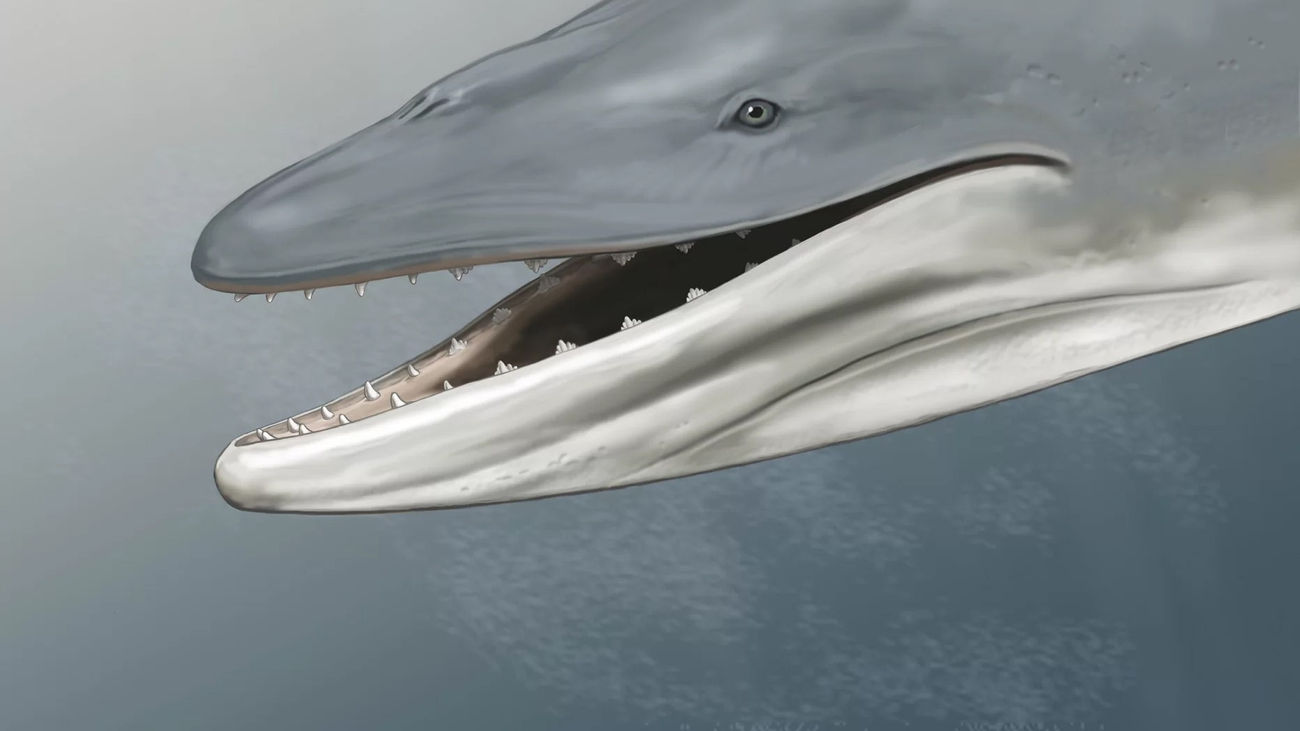 This is an artist's reconstruction of Llanocetus denticrenatus, an ancient whale with teeth. Credit: Carl Buell