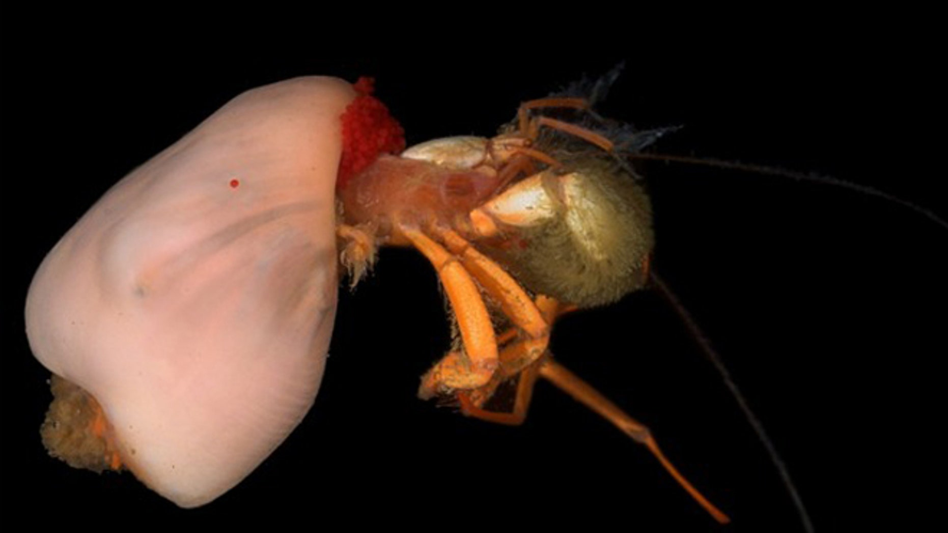 Deep sea symbiosis: A hermit crab uses an anemone as a shell.