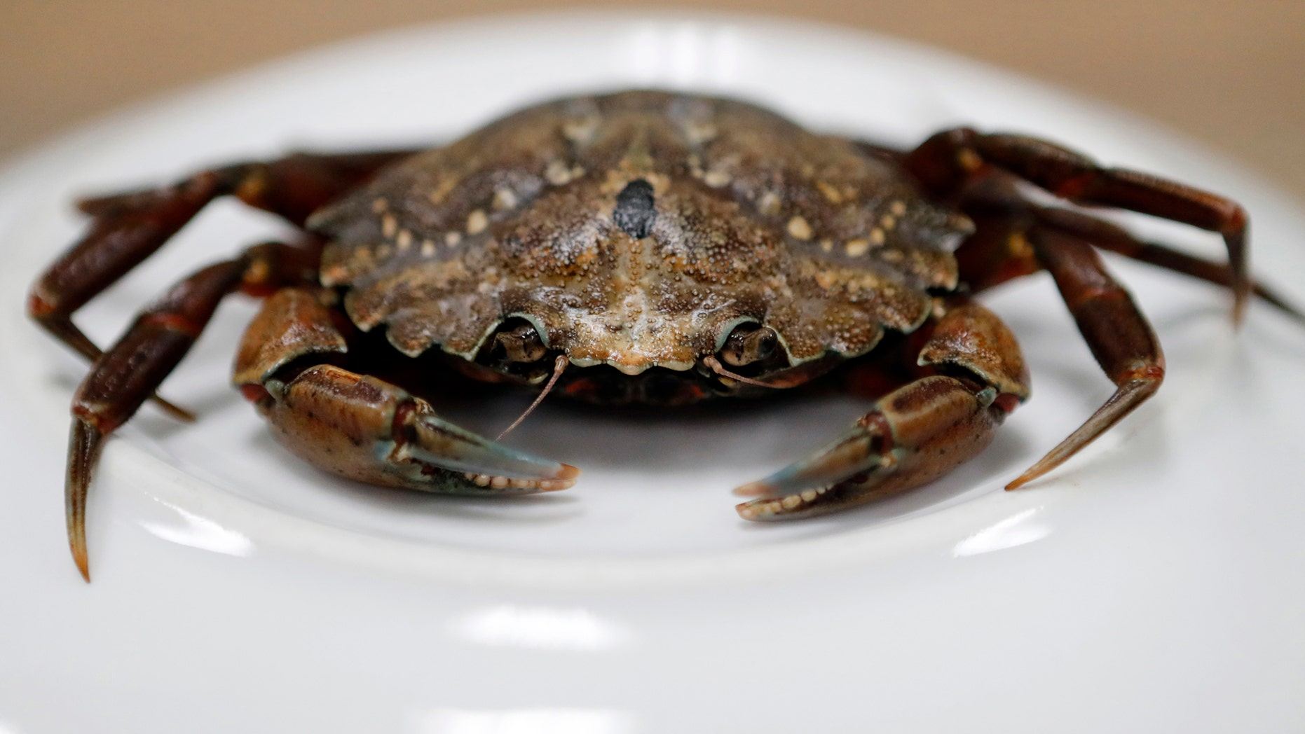 FILE - This June 6, 2018, file photo shows a green crab in Portland, Maine. A University of New England researcher said green crabs migrating from Nova Scotia are ornerier and angrier than their Gulf of Maine cousins. (AP Photos/Robert F. Bukaty, File)