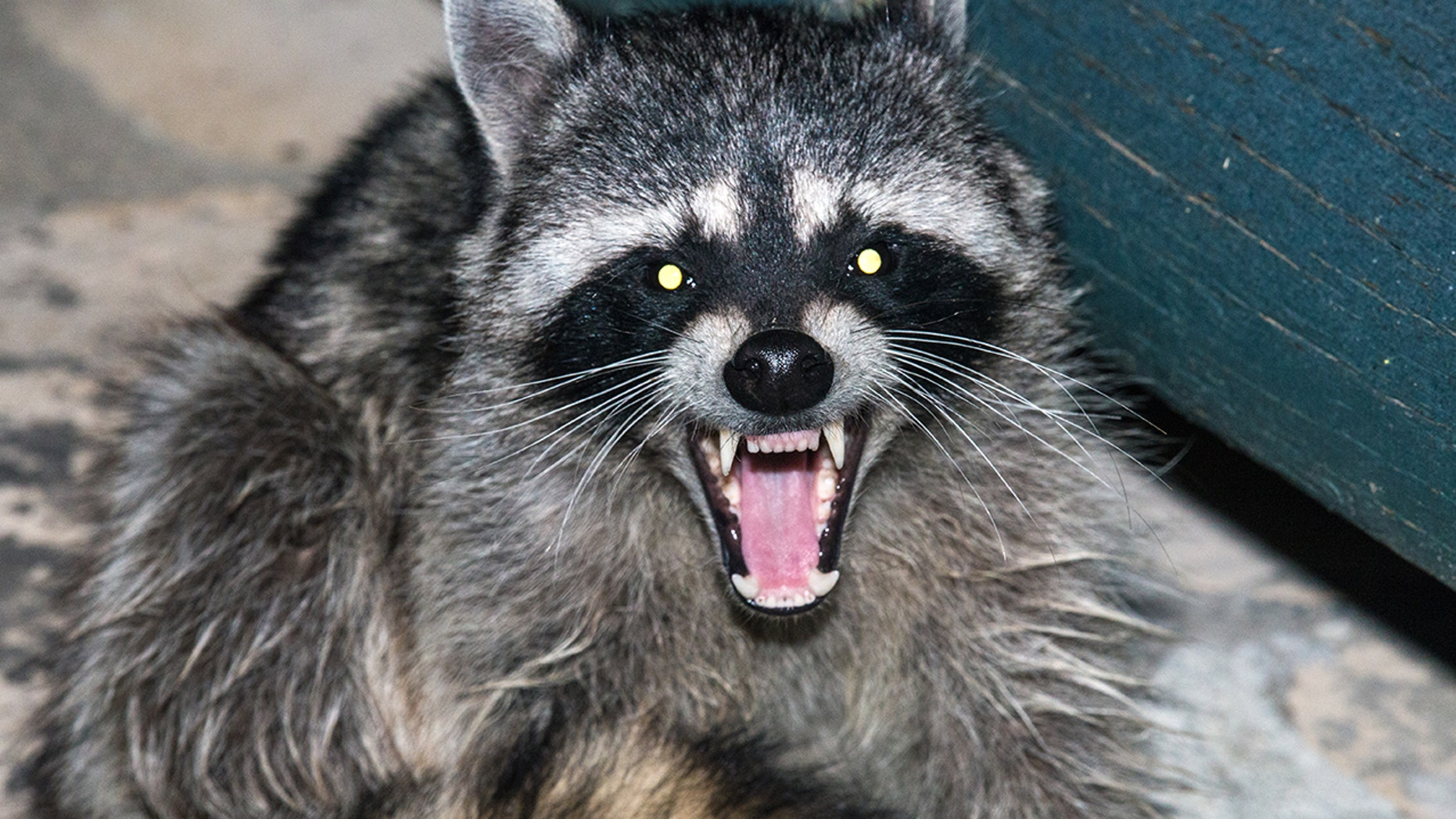 Over 100 raccoons have died thanks to a virus that makes them act like zombies.
