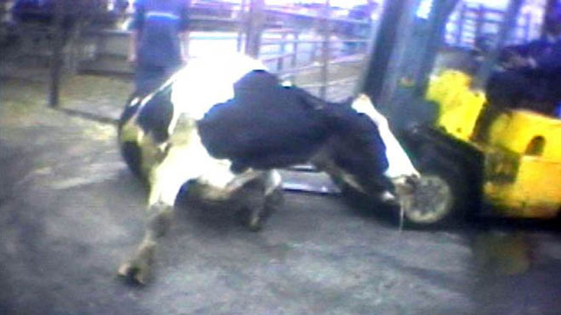 """April 22, 2010: In this file image from video provided by the United States Humane Society, a Hallmark Meat Packing slaughter plant worker is shown attempting to force a """"downed"""" cow onto its feet by ramming it with the blades of a forklift in Chino, Calif. State legislators across the country are introducing laws making it harder for animal welfare advocates to investigate cruelty and food safety cases."""