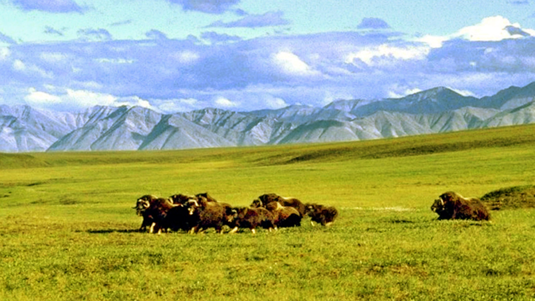 A herd of musk ox graze in an area of the Arctic National Wildlife Refuge in Alaska, in this undated file photo.