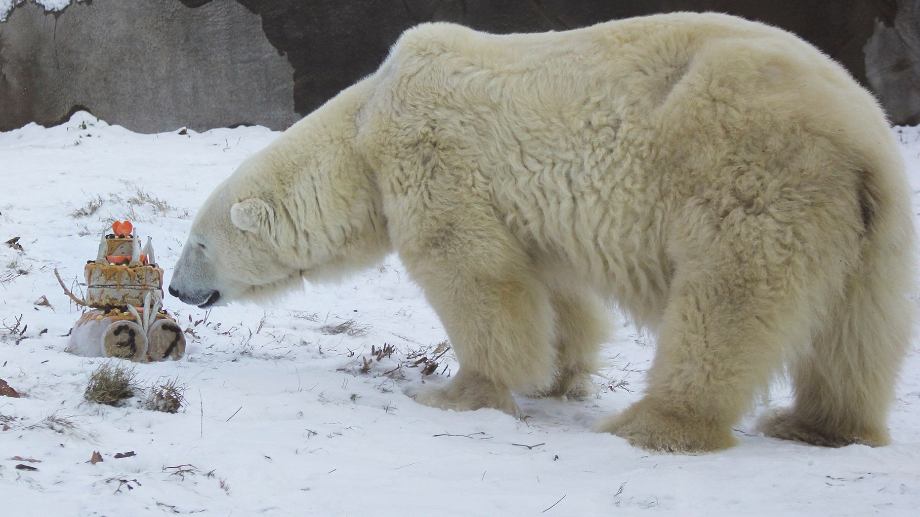 Coldilocks celebrated her 37th birthday on Thursday with cake and presents at the Philadelphia Zoo.