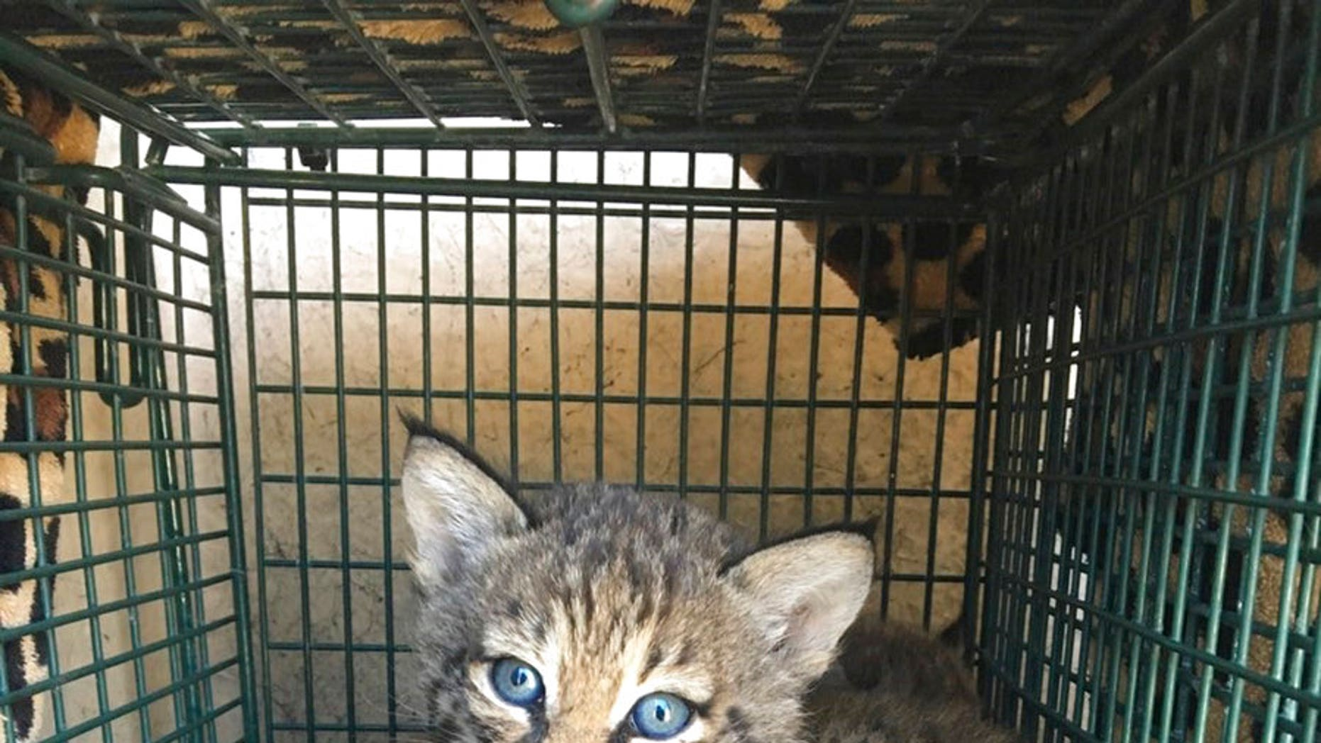 Three people in Texas were bitten after the kittens they thought they were handling turned out to be bobcats.