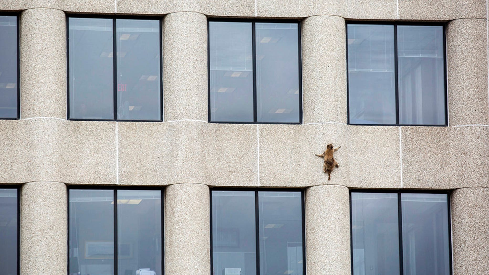 A raccoon scurries up the side of the UBS Tower in St. Paul, Minn., on Tuesday, June 12, 2018.
