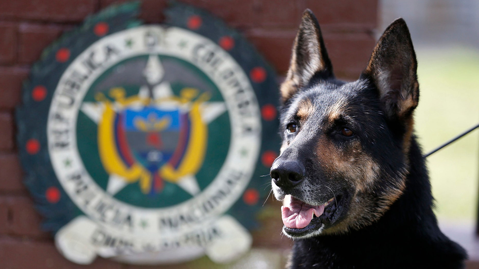 Drug dog Sombra has helped detect more than 2,000 kilos of cocaine hidden in suitcases, boats and large shipments of fruit.