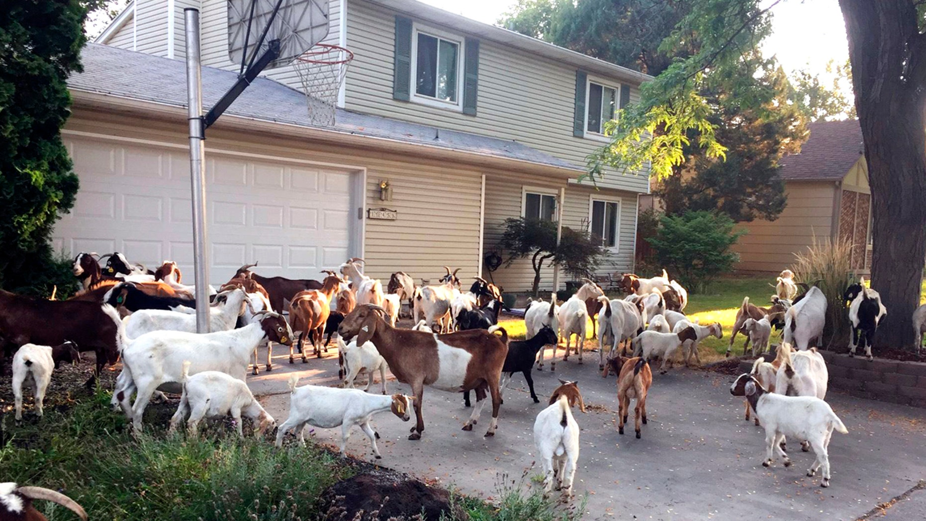 Scores of goats munch on the flora and fauna in a residential area of Boise, Idaho, Aug 3, 2018.
