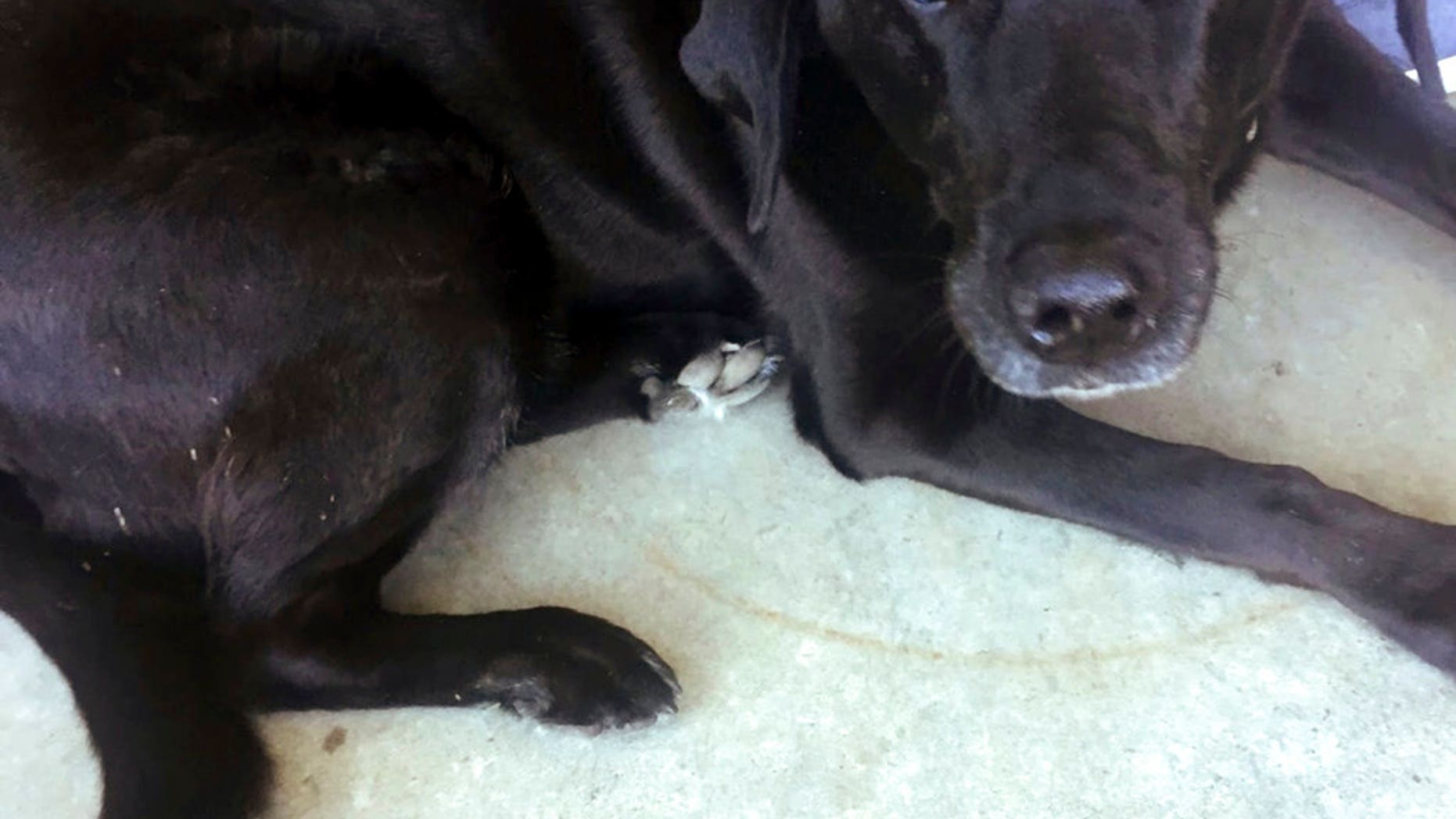 Black Lab named Lucy at McMenamins Gearhart Golf Links in Gearhart, Ore. The discovery of Lucy led to the unraveling of a criminal case